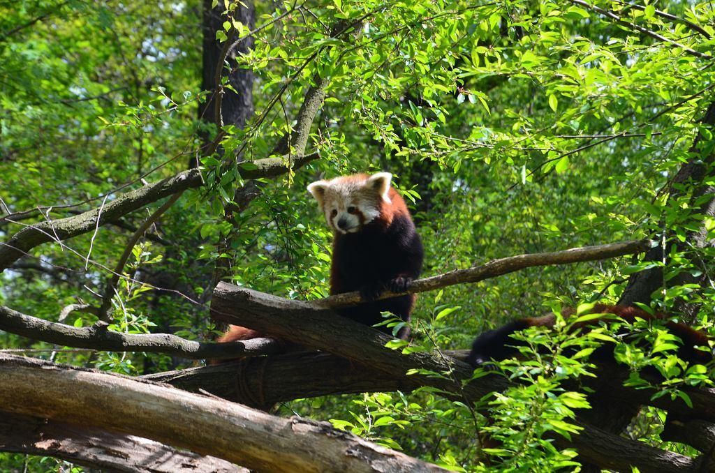 Panda červená - jedno z lákadel   Krušnohorci