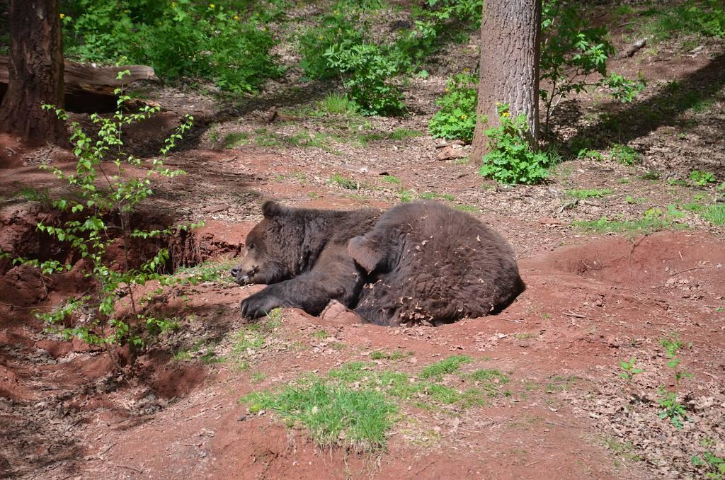 Výběh medvěda hnědého   Krušnohorci