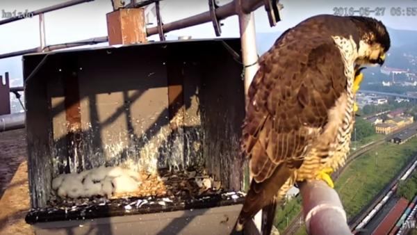 Webkamera snímá hnízdo sokolů na komínu teplárny v Děčíně