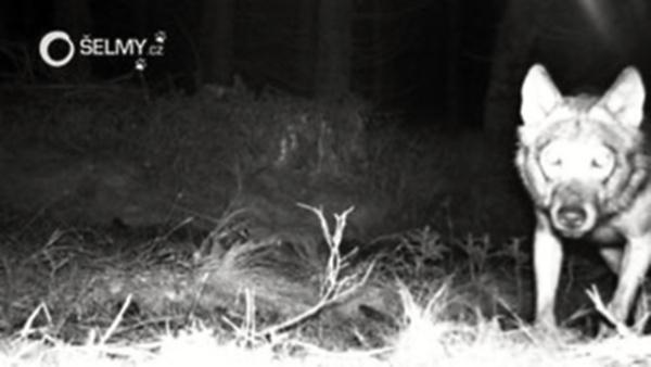 V Krušných horách startuje monitoring velkých šelem. Prokáže se výskyt vlka?